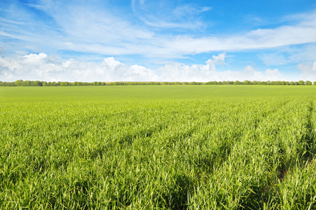 Foto de green field and blue sky with light clouds - Imagen libre de derechos