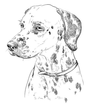 Illustration for Vector Portrait of dalmatian in black color hand drawing Illustration on white background - Royalty Free Image