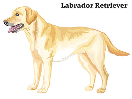 Ilustración de Portrait of standing in profile dog Labrador Retriever, vector colorful illustration isolated on white background - Imagen libre de derechos
