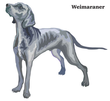 Illustration for Portrait of standing in profile Weimaraner, vector colorful illustration isolated on white background - Royalty Free Image