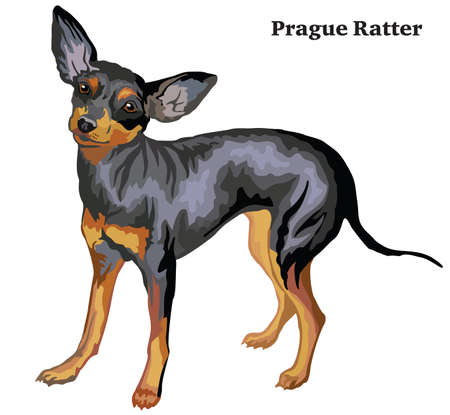 Ilustración de Portrait of standing in profile dog Prague Ratter, vector colorful illustration isolated on white background. - Imagen libre de derechos