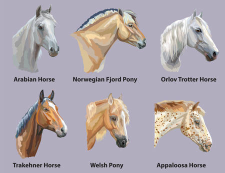 Ilustración de Set of portraits of horses and pony breeds (Trakehner horse, Welsh Pony, Orlov Trotter, Arabian horse, Appaloosa horse, Norwegian fjord pony) isolated on purple background. Vector colorful illustration. - Imagen libre de derechos