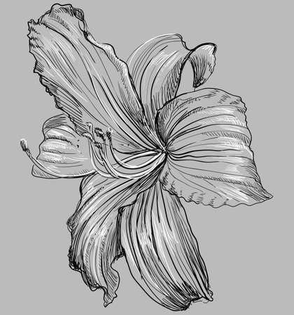 Illustration pour Hand drawn Lilium flower. Vector monochrome illustration isolated on grey background. - image libre de droit