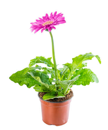 Foto de beautiful blooming pink flower gerbera in flowerpot is isolated on white background, closeup - Imagen libre de derechos