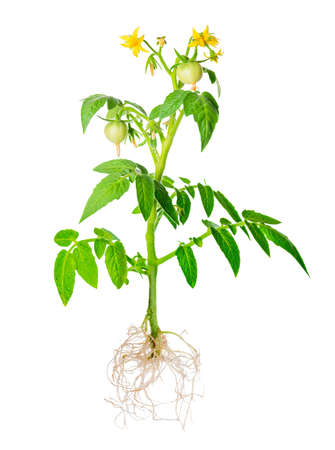 Photo for blossoming young seedling of fresh green tomatoes fruit with exposed roots is isolated on white background, close up - Royalty Free Image