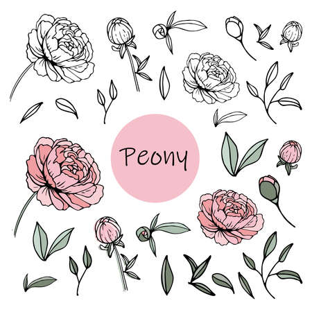 Illustration for Set of peony flowers, bud, leaves, hand drawn sketch style vector illustration on white background. Vector illustration - Royalty Free Image