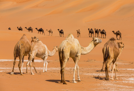 Photo for Camels  in the liwa desert of Abu Dhabi, UAE - Royalty Free Image