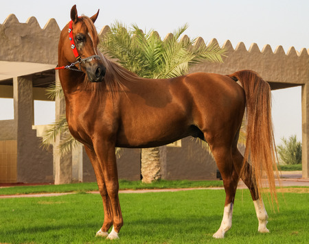Photo for beautiful arabian horse in Ajman United Arab Emirates - Royalty Free Image
