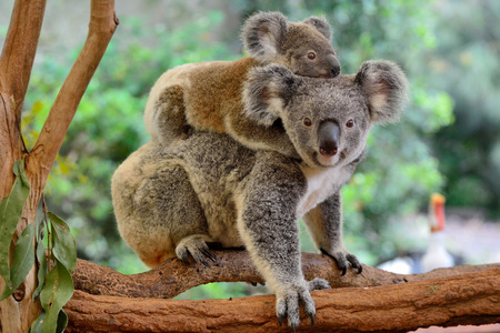 Photo for Mother koala with baby on her back, on eucalyptus tree. - Royalty Free Image