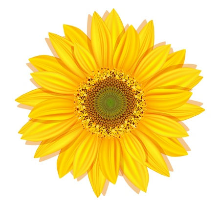 Illustration for Vector sunflowers on a white background - Royalty Free Image