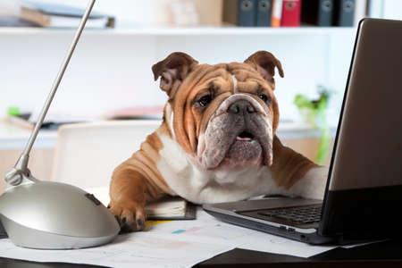 Foto de English Bulldog sitting at a desk in front of a computer as an office manager - Imagen libre de derechos