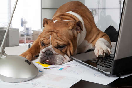 Foto de English Bulldog exhausting by busy day laid his head on the table to rest - Imagen libre de derechos