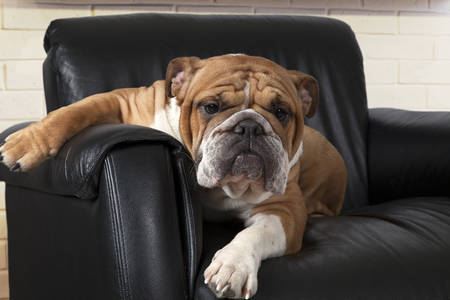 Photo for English Bulldog sitting in a relaxed way in a black leather chair in the living room and looking forward - Royalty Free Image