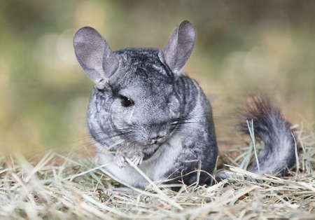 Photo for Wild grey chinchilla sitting on straw outdoors - Royalty Free Image