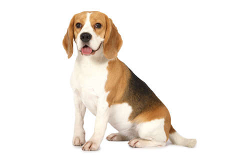 Photo pour Purebred Beagle dog isolated on white background  - image libre de droit