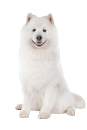 Foto de Samoyed dog, looking at camera. Isolated on white background  - Imagen libre de derechos