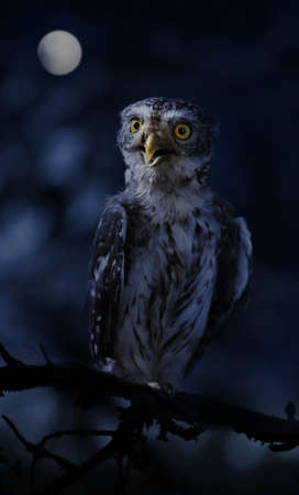Photo for Little owl sitting on a branch in night the forest on the background of the full moon - Royalty Free Image