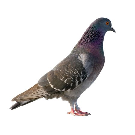 Photo for Pigeon. Isolated on white background. - Royalty Free Image