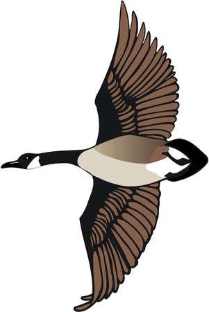 Illustration for Canadian Goose Illustration - Royalty Free Image