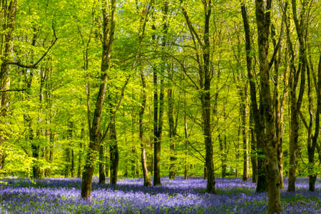 Foto de Sun streams through bluebell woods with deep blue purple flowers under a bright green beech canopy - Imagen libre de derechos