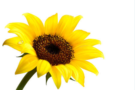Illustration for Background with yellow sunflower. Vector - Royalty Free Image