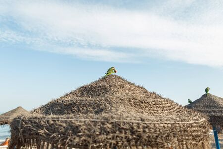 Foto de Exotic green parrot sits with bread in its beak on the roof of a straw umbrella on the beach on a background a blue sky with clouds. Wild rare bird in a natural habitat. Sunny day. Spain. - Imagen libre de derechos