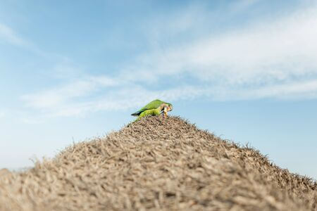 Foto de Bright green parrot holds a piece of bread in the beak sitting on a roof from of dry grass on a background a blue sky with clouds. Sunny day. Exotic birds - Myiopsitta monachus. Spain. - Imagen libre de derechos