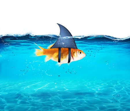Photo pour Goldfish acting as shark to terrorize the enemies. Concept of competition and bravery - image libre de droit