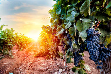 Photo for Field of vineyard full of grapes during sunrise - Royalty Free Image