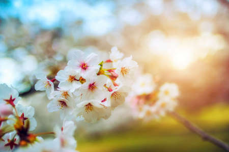 Photo for Cherry flower on a tree in Japan during sunrise - Royalty Free Image