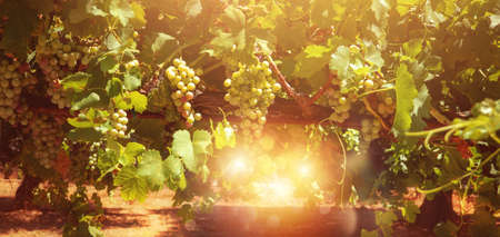 Photo for Field of vineyard full of grapes during sunrise. - Royalty Free Image