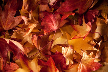 colourful carpet of dried leafs in autumn