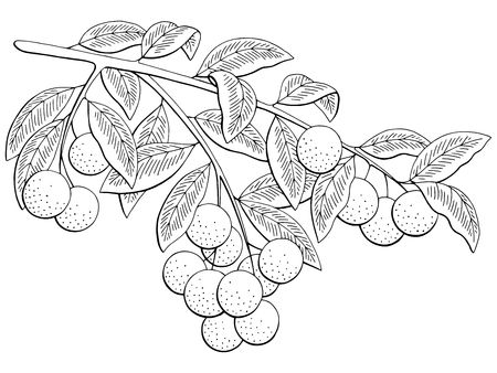 Illustration for Longan fruit graphic branch black and white isolated sketch illustration vector - Royalty Free Image