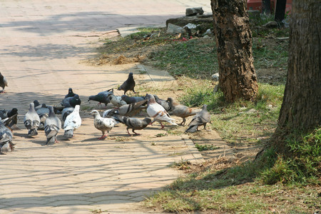 Photo for pigeons groups in the park - Royalty Free Image