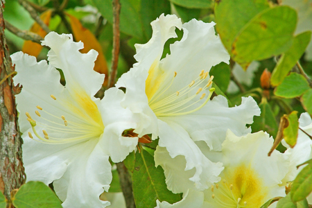 Photo pour White flowers background,Rhododendron arboreum (Azalea) in doi inthanon National park of Thailand in Chiang Mai,highest mountain of Thailand. - image libre de droit