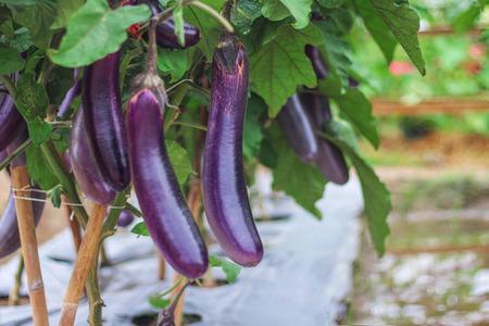 Foto für Purple eggplants group hanging on tree in organic vegetable farm - Lizenzfreies Bild