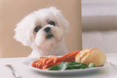 Foto de Cute white dog Maltese sitting on a chair at the table and begging for food like sausage which is on a plate. - Imagen libre de derechos