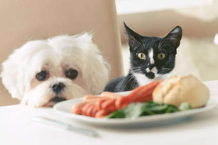 Foto de Cute white dog Maltese and cat sitting together on one a chair at the table and begging for food like sausage which is on a plate. - Imagen libre de derechos