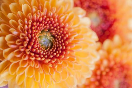 Foto de Orangeyellow Chrysanthemum flowers - Imagen libre de derechos