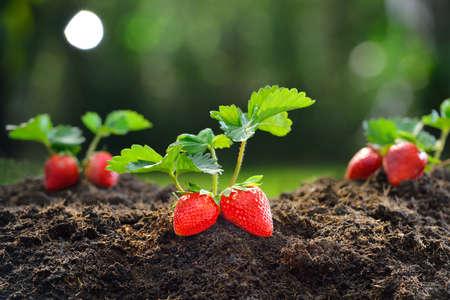 Foto de Close-up of the ripe strawberry in the garden - Imagen libre de derechos