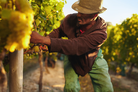 Foto de Farmer picking up the grapes during harvesting time. Young man harvesting grapes in vineyard. Worker cutting grapes by hands. - Imagen libre de derechos