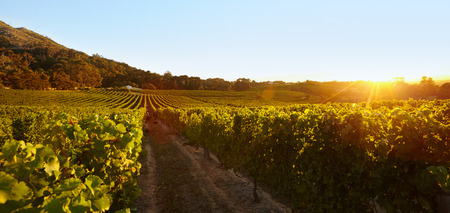 Photo pour Rows of vines bearing fruit in vineyard. Field of grape vines under clear blue sky during sunset. - image libre de droit