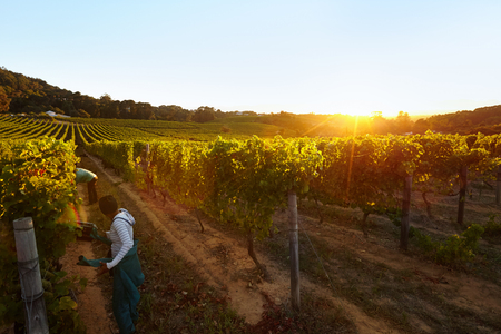 Photo pour Row of vines with workers working in grape farm. People harvesting grapes in vineyard. - image libre de droit