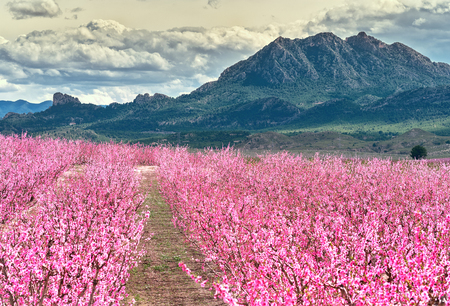 Photo pour Orchards in bloom. Blossoming of fruit trees in Cieza in the Murcia region. Peach, plum and nectarine trees. Spain - image libre de droit