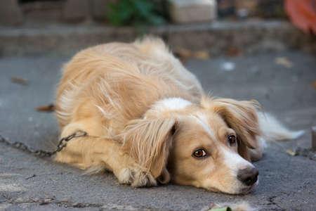 Lonely dog with sad eyes lays on the asphalt