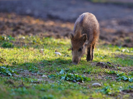Cute little wild piglet, grazing in the sun