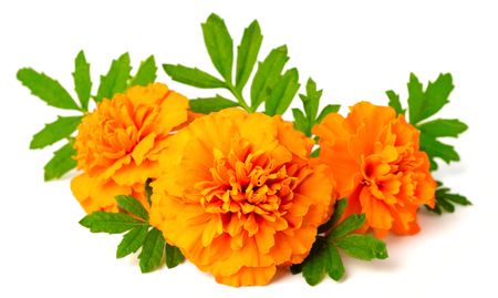 Photo pour fresh marigold flowers isolated on white background - image libre de droit