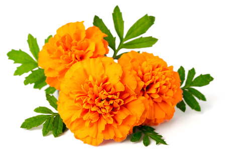 Photo for fresh marigold flowers isolated on white background - Royalty Free Image