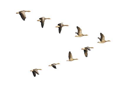 Foto de Flock of migrating greylag geese flying in V-formation. - Imagen libre de derechos
