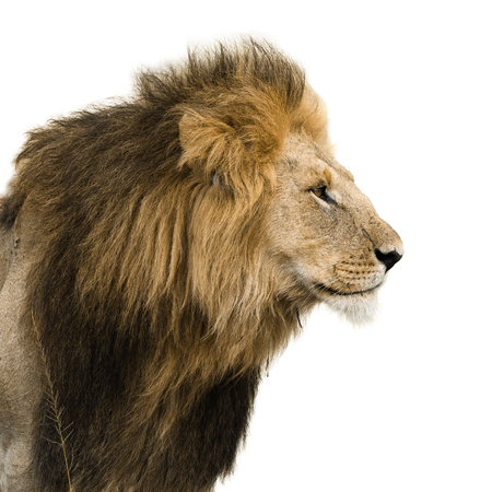 Photo pour Big male lion isolated on white - image libre de droit